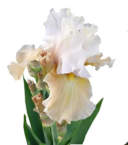 (Champagne Elegance White Bearded Iris - 4
