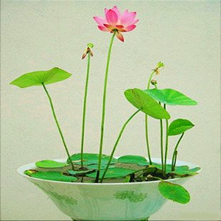 Brand New! Hydroponic flowers small water lily seeds mini lotus seeds bonsai seeds set hydrophyte - 12 pcs seeds