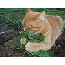 Organic Catnip 25+ Herb Vegetable Seeds a vigorous growing mint loved by cats. It is brewed into a tea to treat colds, headaches flu and fever