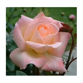 Amazon Com 5 Yellow Rose Rosa Bush Shrub Perennial
