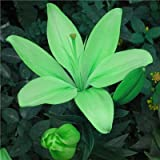 Go Garden Rare Lily Potted Not Lily Bulbs It is Bonsai Lilum Flower Outdoor Perennial Pleasant Fragrance Plant for Home & Garden 300 Pcs: 10