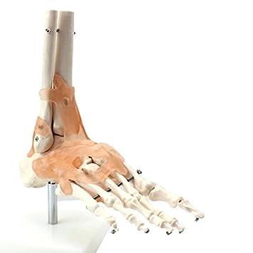 bonew Life Größe Fuß mit Gelenk und Bändern Skelett Modell – Medical ...