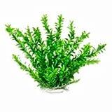 AQUATOP AQUATIC SUPPLIES 819603014341 Anacharis Like Aquarium Plant, 12'', Green
