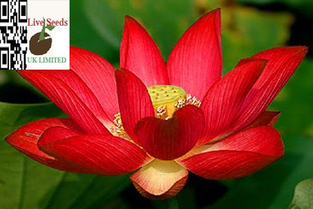- Bowl lotus/water lily flower /bonsai Lotus /ponds /5 Fresh seeds/yimeng Red lotus