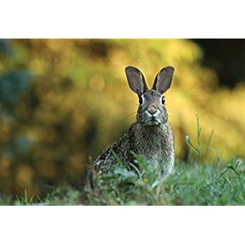 Cute Kissing Baby Rabbits Framed Print Picture Poster Wild Animal Wildlife