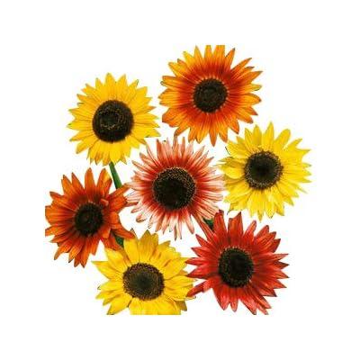 Autumn Beauty Sunflower Seeds : Garden & Outdoor