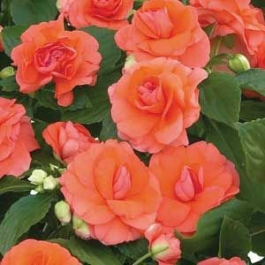65 Musica Salmon Impatien Seeds - DH Seeds - UPC0687299670963
