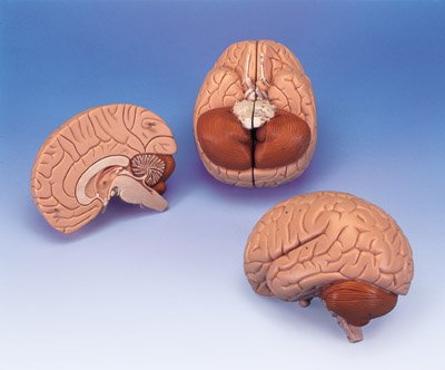 Anatomical Human Brain 2-Part