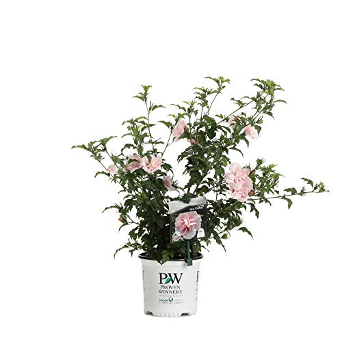 Shrub Rose - 1 Gal. Pink Chiffon Rose of Sharon (Hibiscus) Live Shrub, Light Pink Flowers