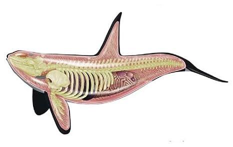 Amazon No26 Killer Whale Anatomy Model Three Dimensional