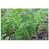 Senf Wasabi - 250 Samen