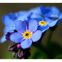 500 Blue CHINESE FORGET ME NOT Flower Seeds