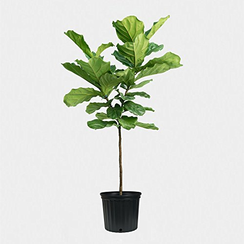 Fiddle Leaf Fig Tree Plant - About 42