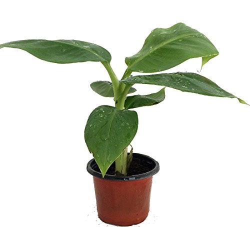 Truly Tiny Banana Plant Great