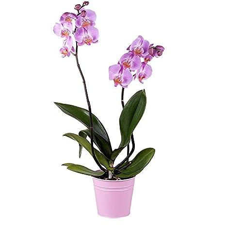 Flores Frescas Florachic - Orquidea rosada con maceta - plantas vivas, enviadas directamente del vivero a tu casa: Amazon.es: Jardín
