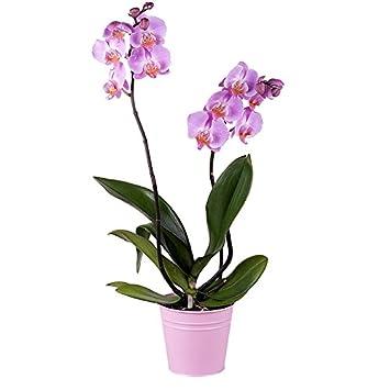 Flores Frescas Florachic - Orquidea rosada con maceta - plantas vivas, enviadas directamente del vivero