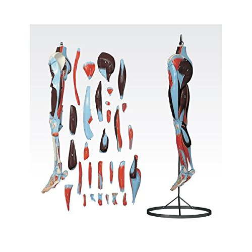 下肢模型/人体解剖模型 (30分解) J-119-2   B077JG517M