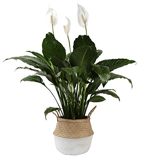Costa Farms Peace Lily Spathiphyllum, Indoor Plant in Décor Planter, 3-Foot, White-Natural Seagrass Basket