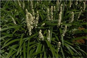 Amazon 18 plant flat 35 pots liriope muscari monroes 18 plant flat 35quot pots liriope muscari monroes white deep mightylinksfo
