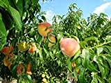 (6 gallon) RED HAVEN PEACH Tree. Blue Ribbon, All Purpose Peach, Very Easy to Grow. Medium Size Fruit Have Almost Fuzzless. Bright Red Skin, Creamy Yellow Flesh, Good Flavor, Freestone, Ripens Early. Grafted.