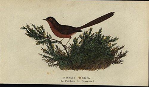 Warbler Antique - Furze Wren Poor Warbler Diminutive 1832 antique engraved hand color Bird print