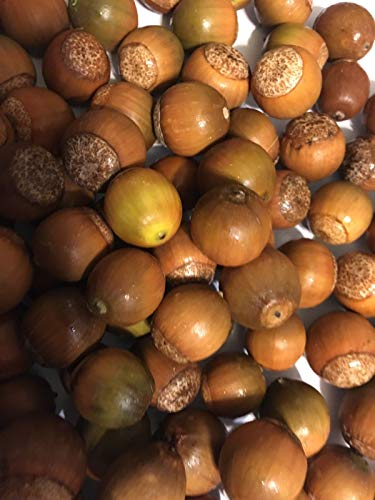 - HIGH Germination Seeds: Acorns (100) for Planting