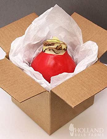 No Watering Needed Amaryllis Glitterz/® Wax Bulb x 1 in Gift Packaging