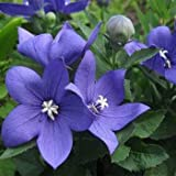 40+ Blue Platycodon Balloon Flower Perennial Flower Seeds