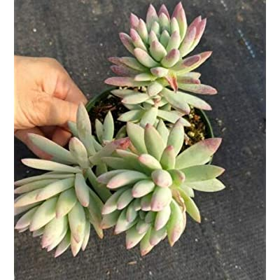 "Fresh Rare Succulent Plant Sedeveria Silver Frost Shown in 4"" Pot Get 1 Easy Grow #SDP01YN : Garden & Outdoor"