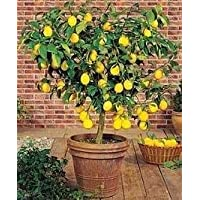 Shoppy Star: Enano Meyer Lemon Tree 35 Semillas Produce Limones sana