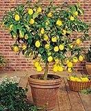 Dwarf Meyer Lemon Tree 35 Seeds Produces Healthy Lemons