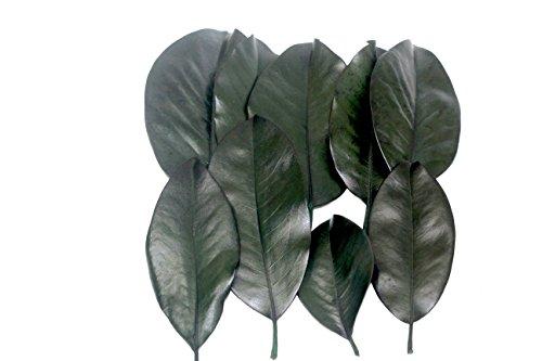 (BD Crafts preserved Magnolia leaves pack of 25)