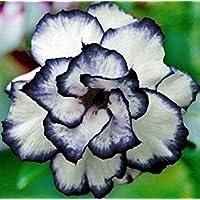VISA STORE 2 Semillas Raras Negro Rosa del Desierto Adenium obesum exótico