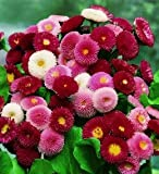 Creative Farmer Daisy Pomponent Mixed Flower Seeds (Pack of 20 Seeds)