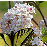 Mohawk Viburnum (1 foot tall in trade gallon containers) Fragrant blooms in the spring