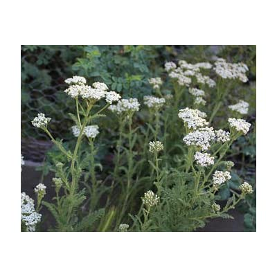 Yarrow, Official Yarrow, Achillea Millefolum, 100 seeds per pack, Organic, GMO Free, Heirloom : Garden & Outdoor