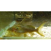 Live Aquarium Freshwater Fish Synodontis Macrops Catfish