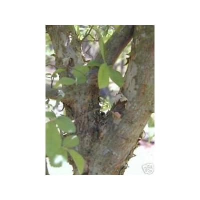 Ulmus parvifolia CHINESE LACEBARK ELM Seeds! : Garden & Outdoor