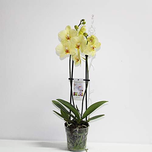 Orquídea Phalaenopsis Amarilla + Tutor + Tarjeta: Amazon.es: Jardín