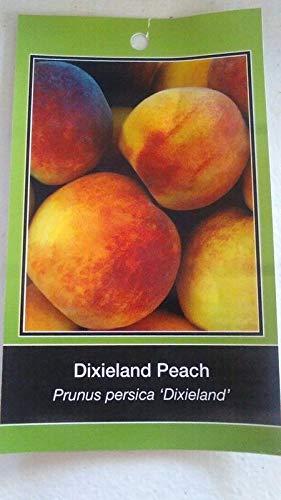 - Organic Seeds: 4'-5' DIXIELAND Peach Live Hethy s Fruit Garden Home Peaches by FERRY