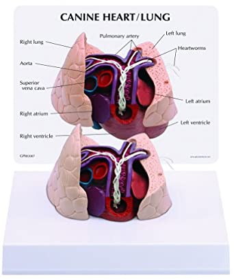 Canine/Dog Heart & Lung Anatomy/Anatomical Model #9151: Animal ...