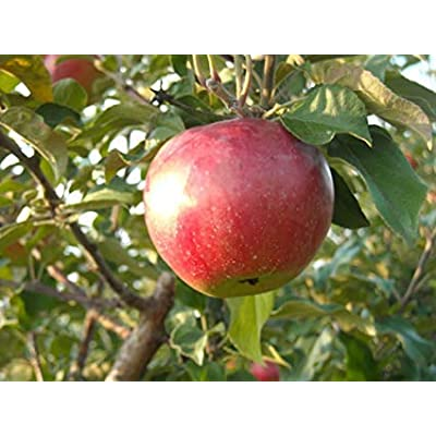 """Fuji Apple"" Fruit Tree Seeds, 10 Premium Quality Tree Seeds, 70-90% Germination in Good Conditions, Malus pumila 'Fuji', (Isla's Garden Seeds) : Garden & Outdoor"