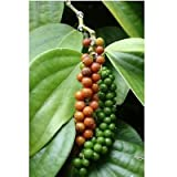 Piper Nigrum - Peppercorn - Rare Tropical Plant Seeds (10)
