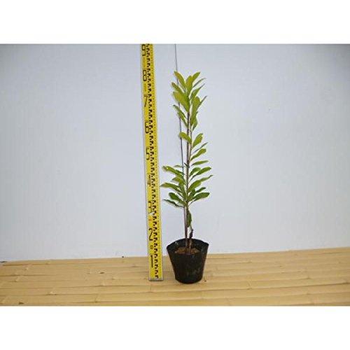 【10本セット】 ヤマモモモリグチ 樹高0.5m前後 15cmポット (山桃やまもも) 接木苗 苗木 植木 苗 庭木 生け垣 B00LBS8GGK