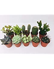 10 Mixed Indoor Plants - 5 Succulents - 5 Cactus Plants in 5.5cm Pots - Indoor Plant Gifts