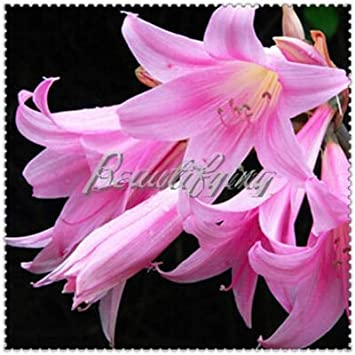 Amazon.com: 100 Pcs Mini Lily Flower Bonsai, Cheap Perfume ...