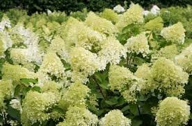 "(1 gallon) ""LIMELIGHT"" HYDRANGEA - Extravagant, Large Dense, Cone-Shaped Clusters of Unique Chartreuse Blooms in Mid-Summer That Change to Pink in Fall. ."
