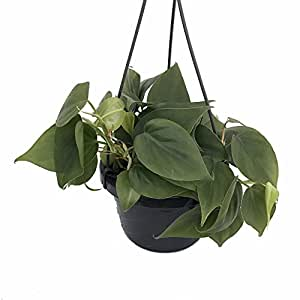 """Heart Leaf Philodendron - Easiest House Plant to Grow - 6"""" Hanging Basket"""