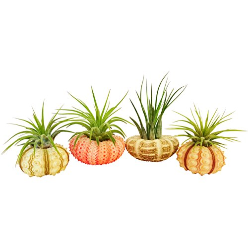 Bliss Gardens 4 pc Tillandsia Air Plant with Sea Urchin Set/Includes 4 Air Plants, 4 Shells and Gift Box