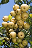 Martha's Secrets Asian Pear Cocktail Tree Self Pollinating Cannot Ship to CA, AZ, AK, HI, OR or WA PER Your State Laws